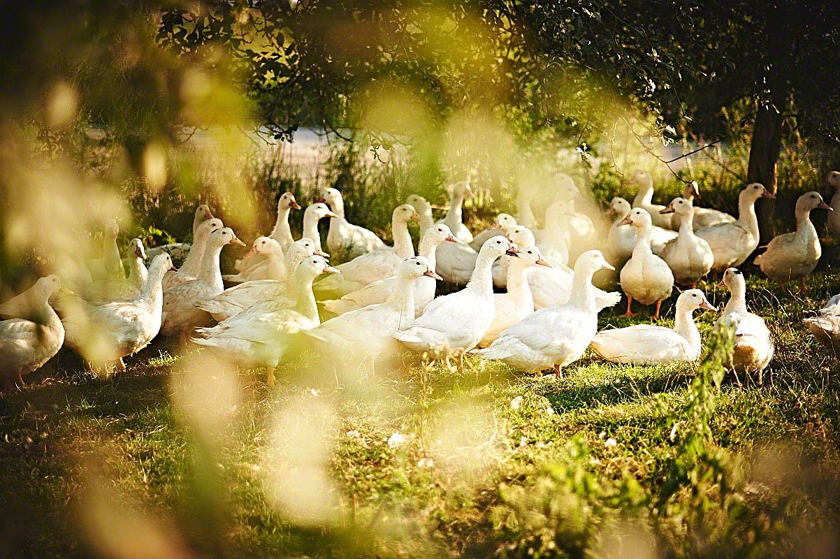 Freilebende Gänse auf dem Bauernhof Glabach - stimmungsvolle Fotoreportage Bauernhof