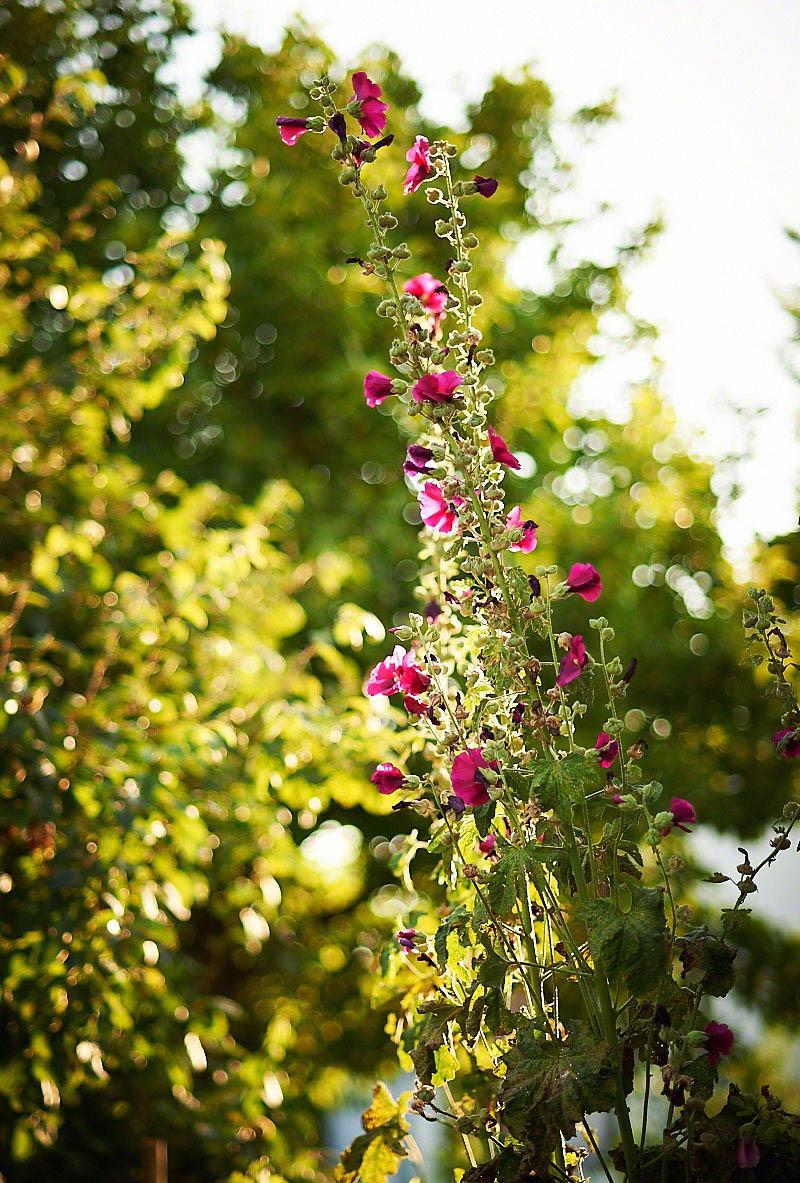 Blühender Bauerngarten auf dem Bauernhof Glabach - stimmungsvolle Fotoreportage Bauernhof