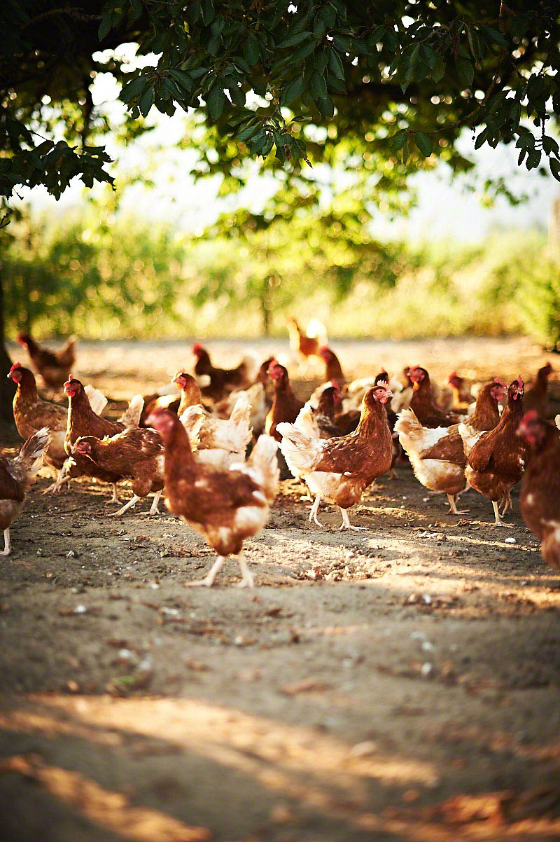 Glückliche Hühner auf dem Bauernhof Glabach - stimmungsvolle Fotoreportage Bauernhof