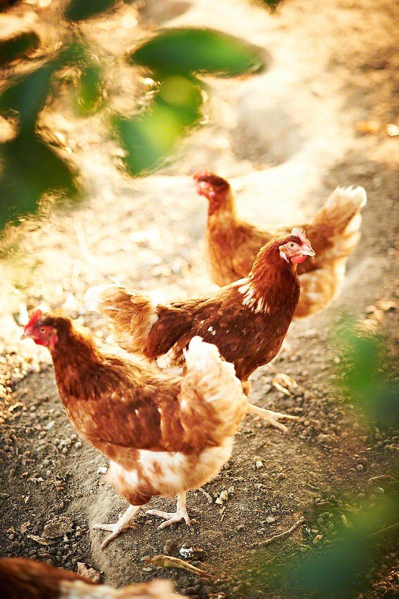 Glückliche Freiland-Hühner auf dem Bauernhof Glabach - stimmungsvolle Fotoreportage Bauernhof