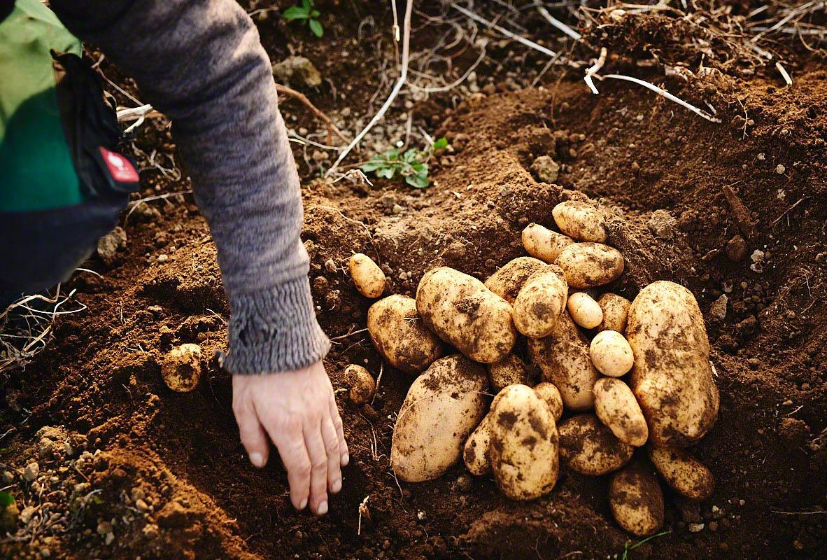 Kartoffel-Ernte auf dem Bauernhof Glabach - stimmungsvolle Fotoreportage Bauernhof