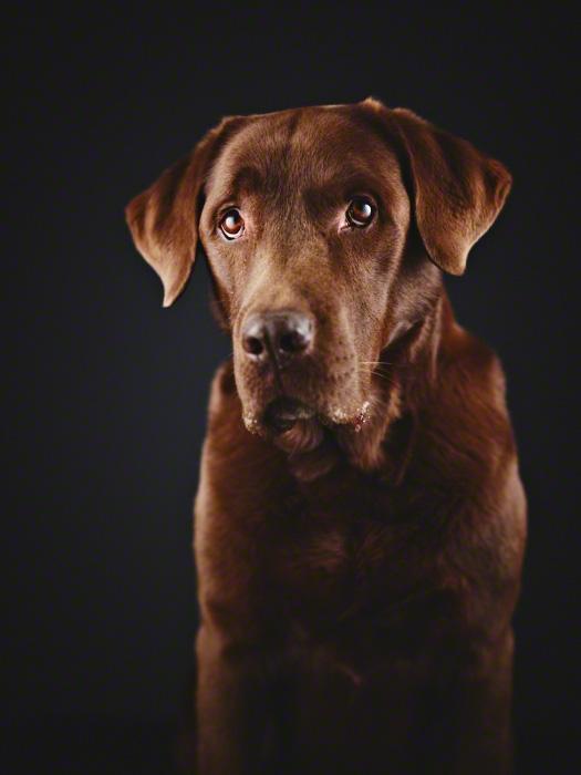 Portrait-Foto von braunem Labrador mit Hundeblick vor schwarzem Hintergrund