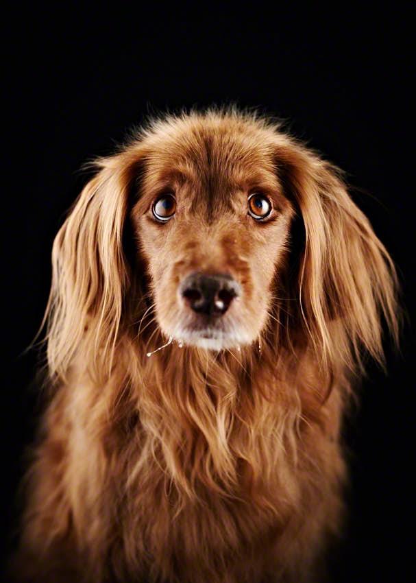Portraitfoto von braunem Hund mit Hundeblick vor schwarzem Hintergrund