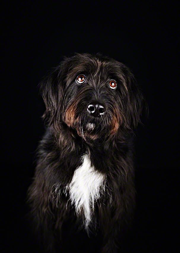Portrait-Foto von schwarzem Schnauzer mit Hundeblick